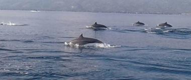 dolphin show at lovina beach